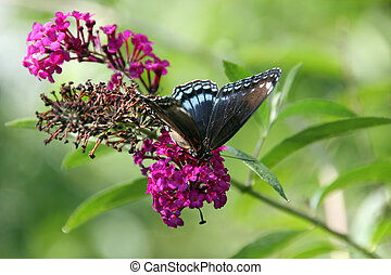 BLUE BUTTERFLY - This Blue Butterfly moves along the branch...
