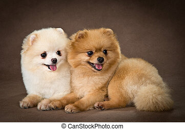Two dogs of breed a Pomeranian spitz-dog in studio
