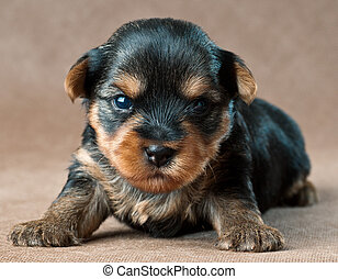 Puppy of a yorkshire terrier in studio