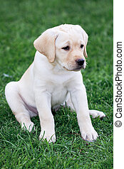 Labrador retriever puppy sitting on the grass lawn