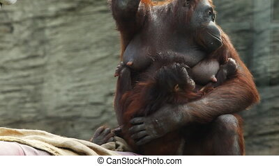 adult mother orangutan sit on beams with child that want climb