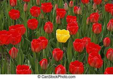 Red tulips with a yellow one in the middle