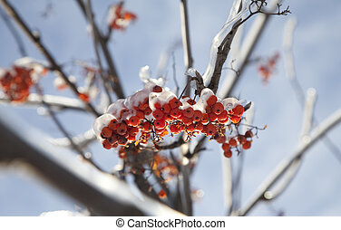 Frozen ashberry - red ashberry branches under snow in winter...