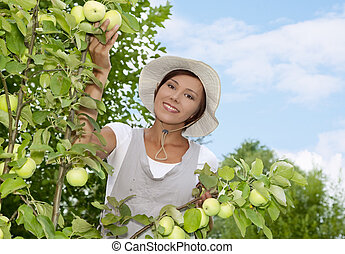 Young woman standing at apple tree - Woman picking apples in...