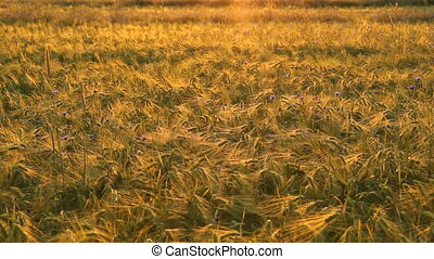 Grain field in the evening sun