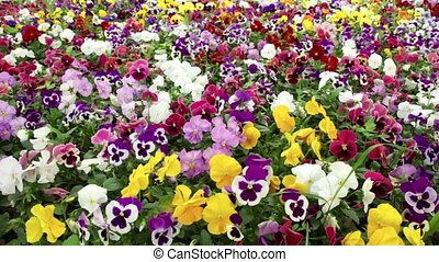 Many colorful pansy flowers swaying in wind