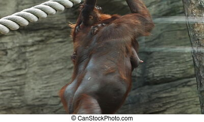 adult mother orangutan climb on beams with child