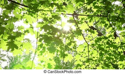 Sunlight breaks through the green leaves of maple