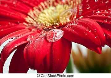 drop of dew on Gerber