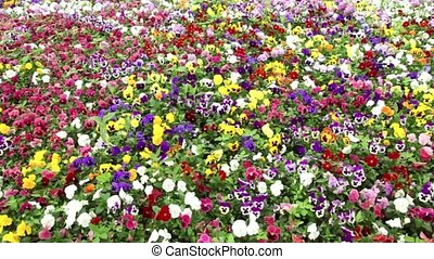 Many pansy flowers swaying in the wind
