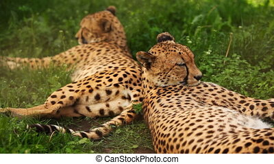 two adult cheetah lies on green grass at zoo - two big adult...