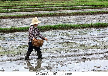 semear, cultivo, agricultor, arroz, era,  paddy