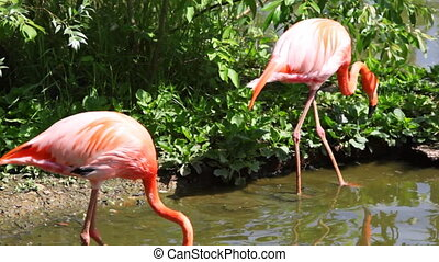 two flamingos go on water near plants in zoo - two flamingos...