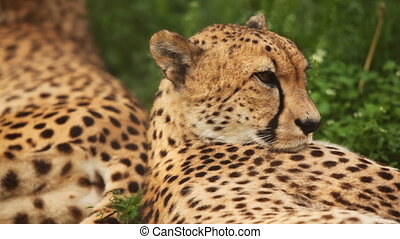 big adult cheetah lies on green grass at zoo - close-up of...