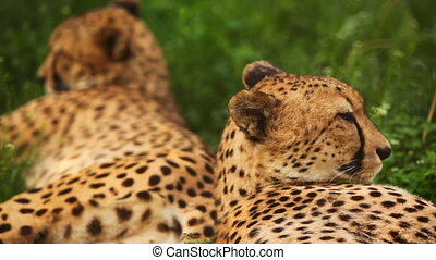 two big adult cheetah lies on green grass at zoo - close-up...