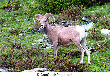 Bighorn sheep Ovis canadensis at Logan Pass of Glacier...
