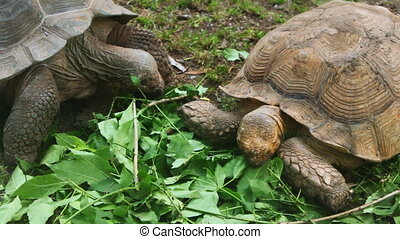 two big old turtles eat leaves in grass at zoo