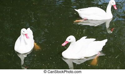 three white swans swimming in lake at zoo