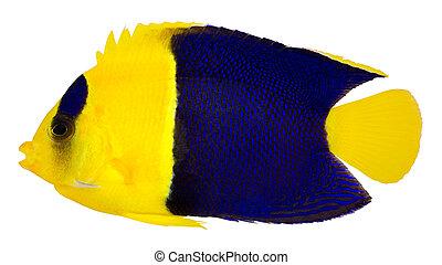 Bicolor Cherub angelfish (Centropyge Bicolor) - Bicolor...