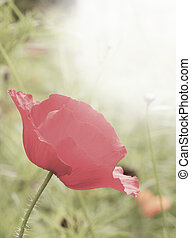 Shallow depth of field used to emphasise wild poppy flower...