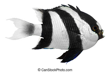 Humbug Damselfish isolated on white background Dascyllus...
