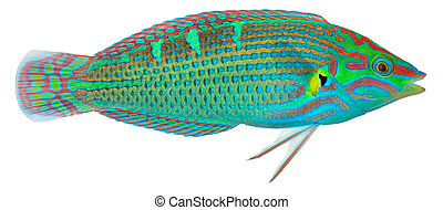Melanurus Wrasse isolated in white background Halichoeres...