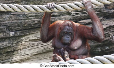 mother orangutan sit and clinging to rope with child - adult...