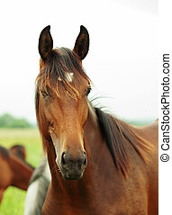 Portrait of pretty young trotter mare