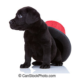 cute little black labrado