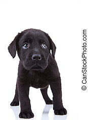shy little labrador puppy - cute little black labrador...