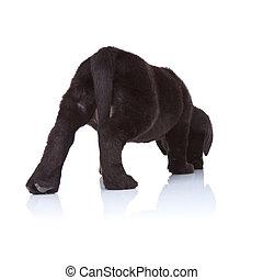 black labrador retriever puppy sniffing - back of a black...