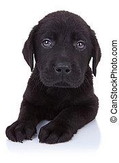 curious little black labrador