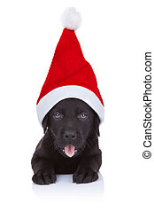 cute little santa - black labrador puppy with big santa cap,...