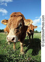 Friendly Limousin Bull Close Up