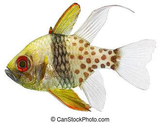 Pyjama Cardinal Fish (Sphaeramia nematoptera) - Pyjama...