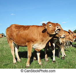 Singing Limousin Cow