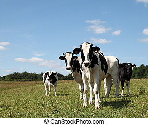Young Holstein Dairy Heifers