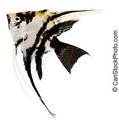 pez,  Ángel