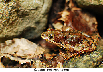 camouflage - camuflage brown frog between rocks