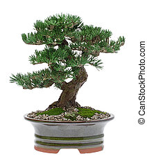 Bonsai Tree - A small bonsai tree in a ceramic pot Isolated...