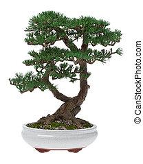 Bonsai, träd