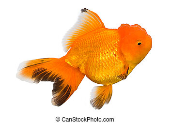 Goldfish isolated in white background