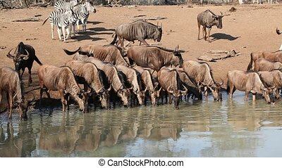 Zebras and wildebeest drinking - Herd of plains...