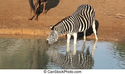 Plains Zebra drinking - A Plains (Burchell\'s) Zebra (Equus...