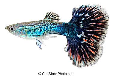 Guppy, peixe, Poecilia, reticulata