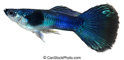 escuro, azul, guppy, peixe, Poecilia, reticulata
