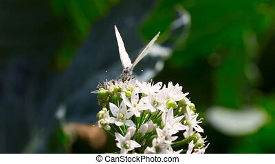 Butterfly. - Cabbage butterfly takes nectar on blooming...