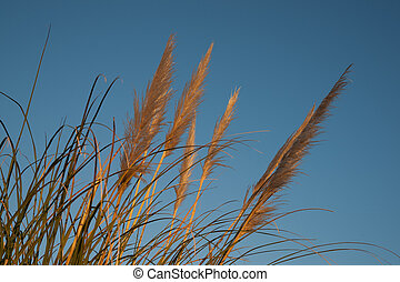 Pampas grass. - Pampas grass, or Toi toi,  against blue sky.