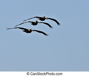 Three Pelicans Air Show - Three pelicans caught performing...