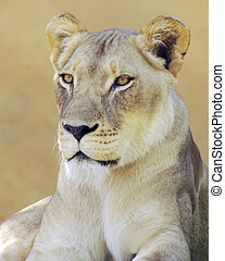 Lioness - A shot of a Lioness looking to her over my left...